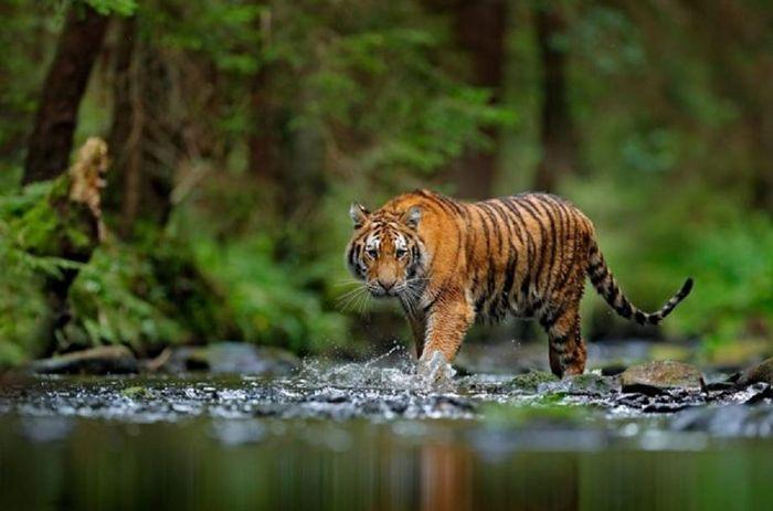 Nằm mơ thấy hổ đánh con gì để dễ trúng? Điềm tốt hay xấu?
